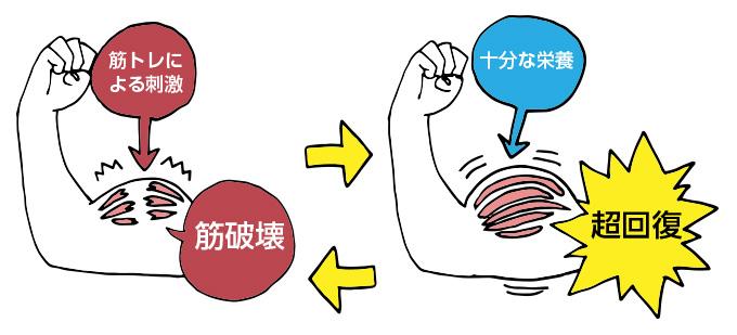 筋肥大の仕組み